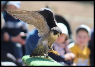 Charlie the Peregrine Falcon