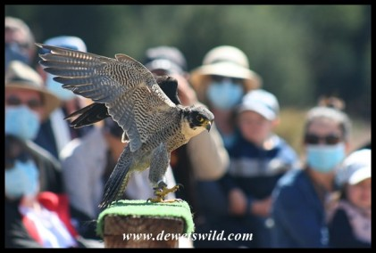 Charlie the Peregrine Falcon (photo by Joubert)
