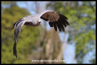 Chewy the Harrier Hawk
