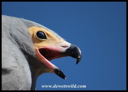 Chewy the Harrier Hawk