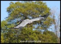 Chewy the Harrier Hawk (photo by Joubert)