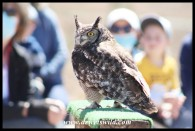 Daphne, the Spotted Eagle Owl