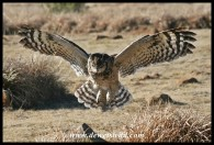 Daphne, the Spotted Eagle Owl (photo by Joubert)