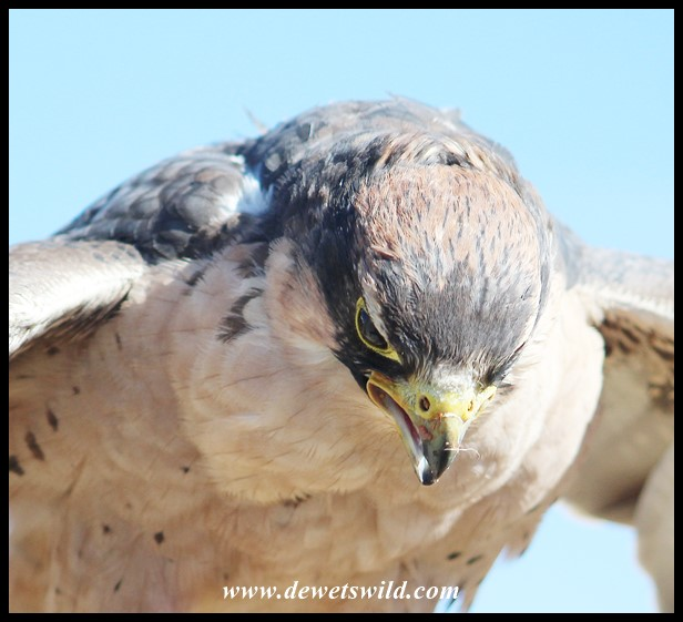 Ginger the Lanner Falcon