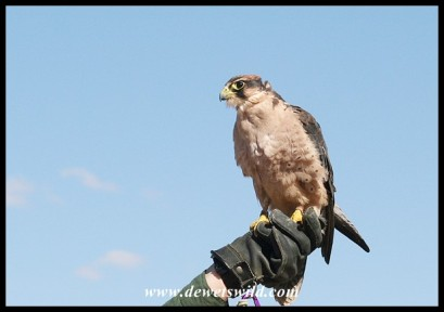 Ginger the Lanner Falcon (photo by Joubert)