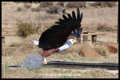 Hali the Fish Eagle