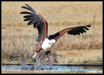Hali the Fish Eagle