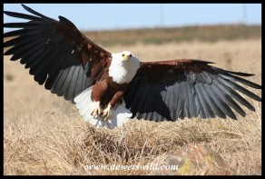 Hali the Fish Eagle (photo by Joubert)