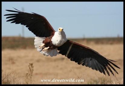 Hali the Fish Eagle (photo by Joubert)