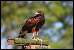 Jester the Harris Hawk - not a species indigenous to South Africa