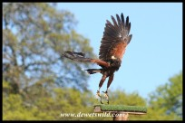 Jester the Harris Hawk (photo by Joubert) - not a species indigenous to South Africa