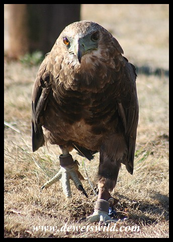 Libra the Bateleur (photo by Joubert)
