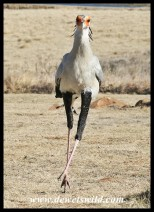 Rooney the Secretary Bird (photo by Joubert)