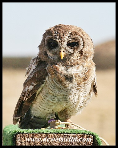 Vinkel the Wood Owl (picture by Joubert)