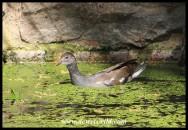 Immature Common Moorhen