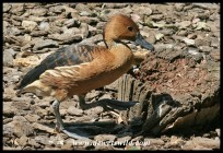 Fulvous Whistling Duck (photo by Joubert)