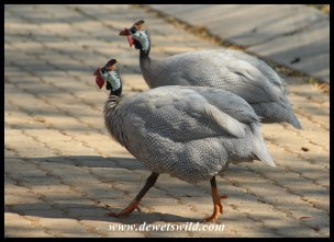 Domesticated Guineafowl often have varying plumage