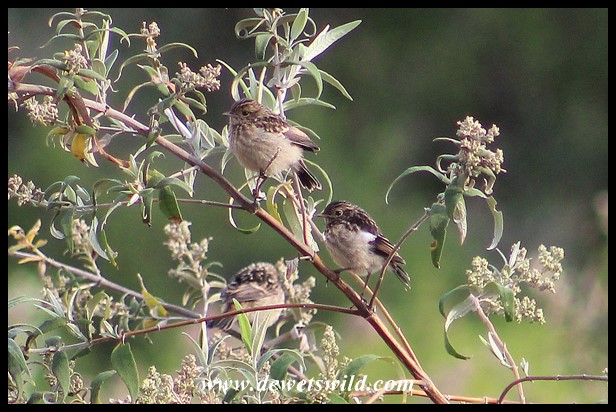 African Stonechat chicks
