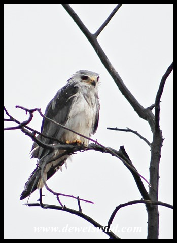 Soppy Black-shouldered Kite