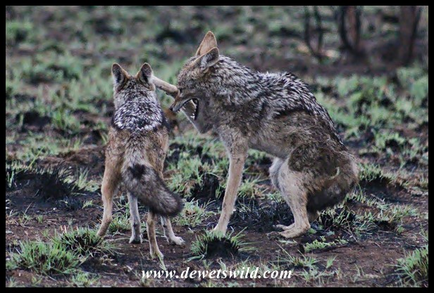 Black-backed Jackals fighting over scraps