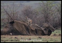 King of the castle: Black-backed Jackal at Mavuso's carcass