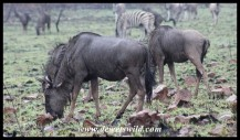 Blue Wildebeest in the rain
