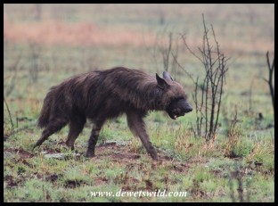 Brown Hyena at the junction of Thuthlwa and Tlou drives in Pilanesberg
