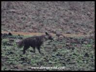 Brown Hyena carefully approaching Mavuso's carcass