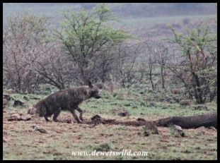 Brown Hyena carefully approaching Mavuso's carcass