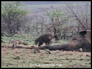 Brown Hyena carefully approaching Mavuso's carcass and being irritated by the jackals