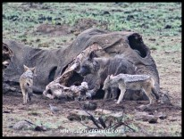 Brown Hyena and Black-backed Jackals at Mavuso's carcass