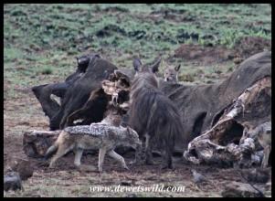 Brown Hyena and Black-backed Jackals at Mavuso's carcass