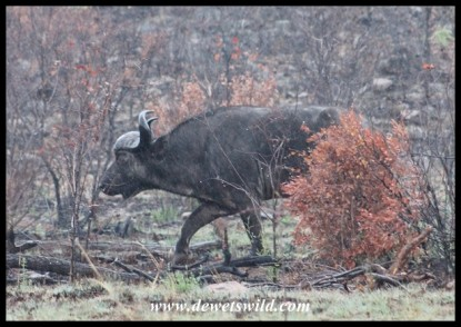 Buffaloes rushing past us on Sefara Drive