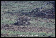 The Cheetah female Rain and her latest cubs