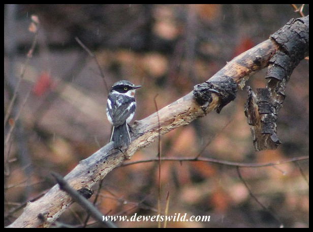 Female Chinspot Batis