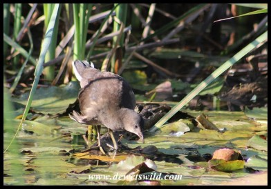 Common Moorhen chick on 15 October 2020