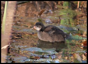 Common Moorhen chick on 24 September 2020