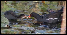 Common Moorhen chick on 24 September 2020 being fed by one of its parents