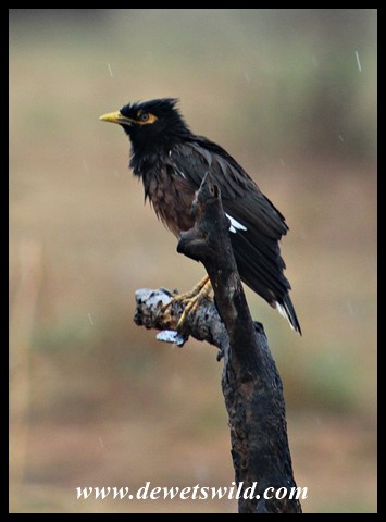 We weren't exactly thrilled to see this exotic invader, a Common Myna, at Mankwe Dam