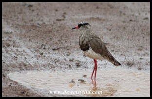 Crowned Lapwing in a puddle on the road