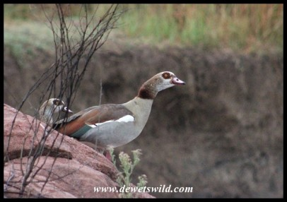 Egyptian Goose at the Mankwe stream crossing