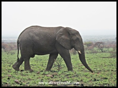 Elephant along Tshepe Drive