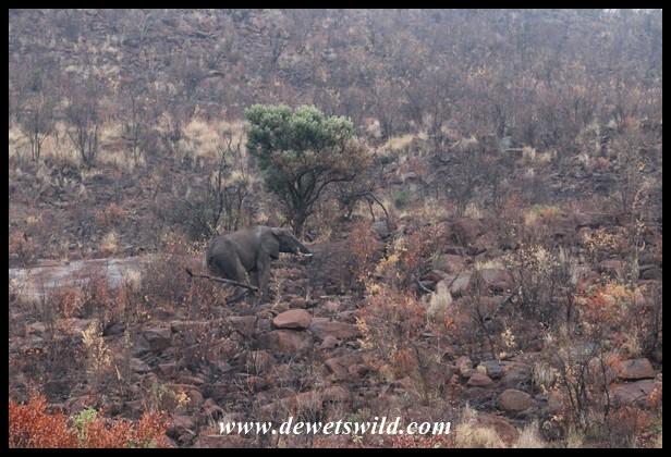 Elephant climbing a rocky hill, seen along Tshepe Drive