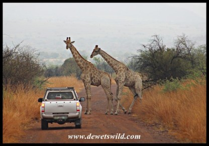 Giraffe roadblock