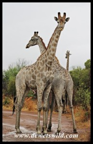 Giraffes at the junction of Tlou and Sefara