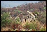 Herd of giraffes on Tshwene Drive