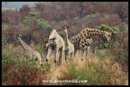 Herd of giraffes on Tshwene Drive