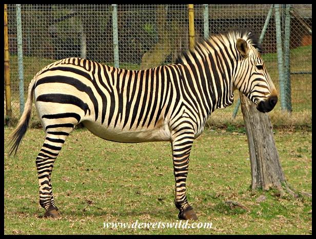 Captive Hartmann's Mountain Zebra