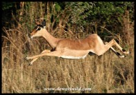 Impala ewe at full speed - photo by Joubert