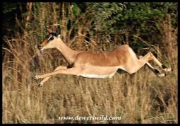 Impala ewe at full speed - photo by Joubert